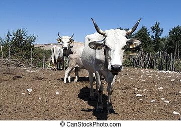 クローズアップ, 牛