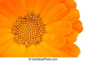 クローズアップ, 花, (pot, 背景, calendula, marigold), 白