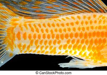 クローズアップ, fish, 皮膚