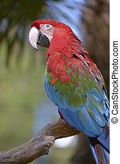 クローズアップ, macaw, green-winged