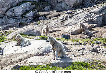 グリーンランド, 犬, ilulissat, そりで滑べりなさい