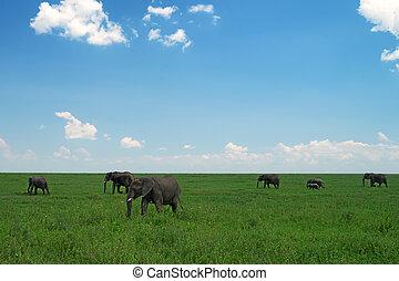 グループ, の, アフリカの象, 中に, サバンナ