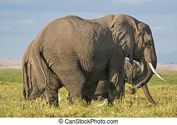 グループ, の, アフリカ, ブッシュ, 象