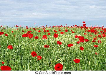 ケシ, 花, 青い空, 緑のフィールド, 赤