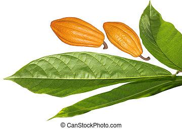 ココア, 豆, 葉