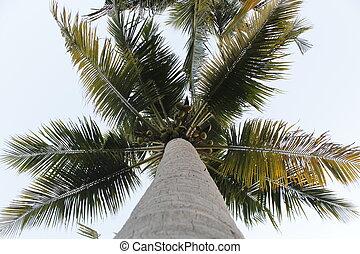 ココナッツ 木, 平面図