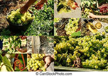 コラージュ, クローズアップ, 白いブドウ, 収穫する