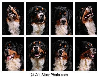 コラージュ, 山, bernese, 犬, 肖像画
