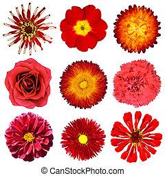 コレクション, の, 赤い花, 隔離された, 白