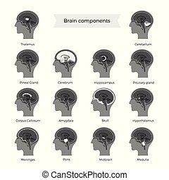 コンポーネント, 脳, ベクトル, セット, イラスト
