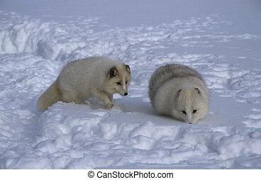 コート, 北極 孤, 冬