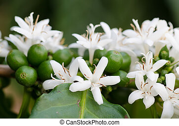 コーヒー, 花, 木, 咲く