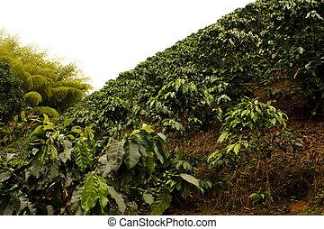 コーヒー, fields., コロンビア