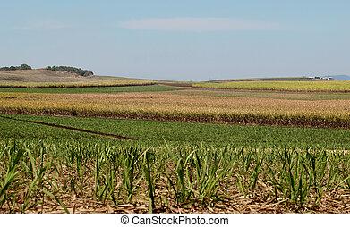 サトウキビ, 産業, 砂糖, 農場, オーストラリア人, 農業, 風景