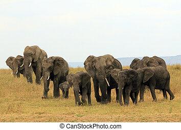 サバンナ, 家族, serengeti, タンザニア, 象, africana), アフリカ, (loxodonta...
