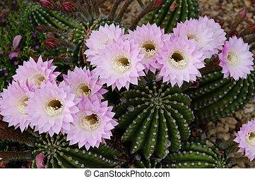 サボテン, oxygona, echinopsis