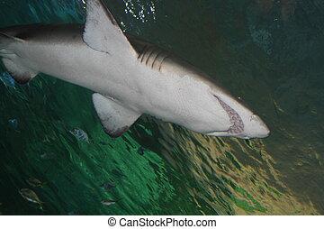サメ, グレイト・ホワイト