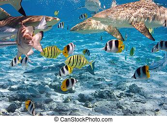 サメ, 上に, サンゴ礁, 海洋