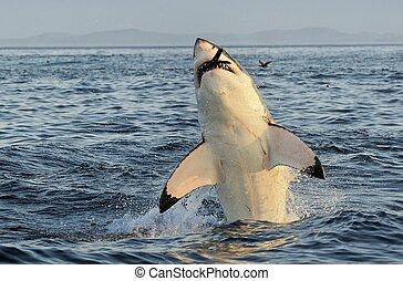 サメ, 偉人, 破ること, 白