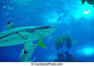 サメ, blacktip, 砂洲