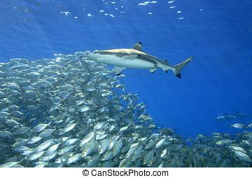 サメ, blacktip, fish, 砂洲