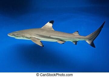 サメ, blacktip, -, melanopterus, carcharhinus, 砂洲