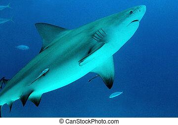 サメ, carmen, leucas), メキシコ\, (carcharhinus, del, playa, 雄牛