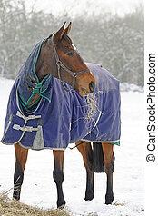 サラブレッド, 馬, 食べること, 雪, 干し草