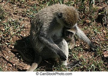 サル, -, アフリカ, serengeti, vervet, サファリ