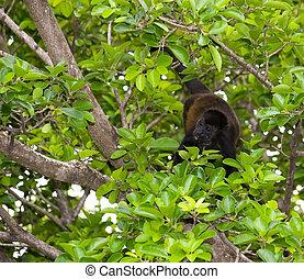 サル, 食べることは去る, 中に, 木