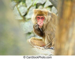 サル, 食べる