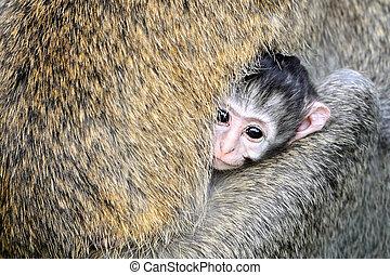 サル, vervet