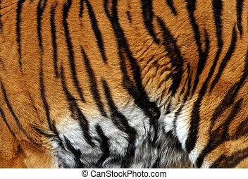 サンプル, tiger