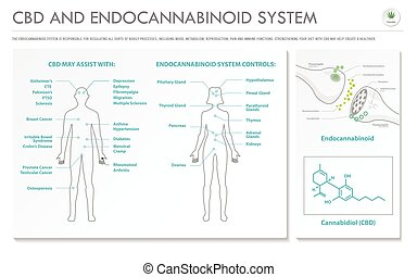 システム, ビジネス, infographic, 横, cbd, endocannabinoid