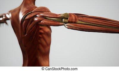 システム, 人間, アニメーション, 体, 筋肉
