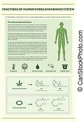 システム, 縦, endocannabinoid, infographic, 人間, 機能
