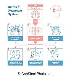 システム, 解剖, アウトライン, 図, グラフィック, 単純である, ポスター, scheme., information., 生物学である, ベクトル, 応答, 神経, ストレス, デザイン, きれいにしなさい, 教育, 衝動, イラスト