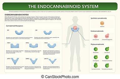 システム, endocannabinoid, 教科書, infographic, 横