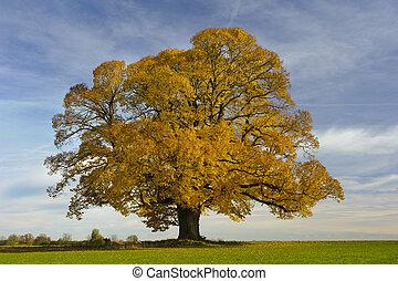 シナノキ, 大きい, 秋, 木, 単一