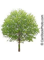 シナノキ, 木