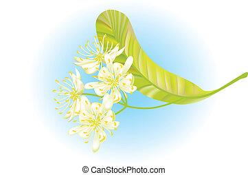 シナノキ, flowers., ベクトル, illustration.