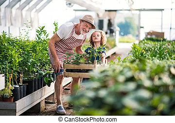 シニア, 園芸, 祖父, greenhouse., 小さい, 女の子