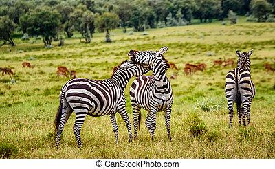 シマウマの群れ, 中に, kenya, アフリカ