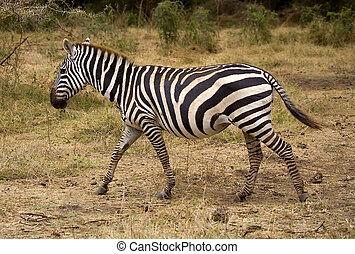 シマウマ, 中に, アフリカ