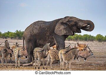 シマウマ, 国民, 囲まれた, 公園, 水, アフリカの象, etosha, 飲み物