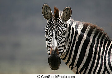 シマウマ, -, serengeti, サファリ, タンザニア, アフリカ