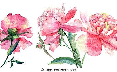 シャクヤク, 絵, 水彩画, 花, 美しい