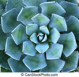 シャープ, 向けられた, リュウゼツラン, 植物, 葉