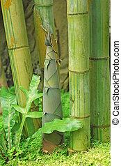 シュート, の, 竹, 雨, 森林