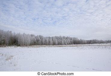 シラカバ, 森林, 雪